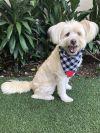 Maltese Dog: Coco