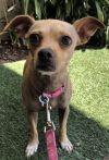Italian Greyhound Dog: Little Belle