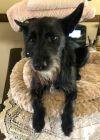 Schipperke Dog: Whisky Shadow a heartbreaker, just a little handsome boy, needs a great home!