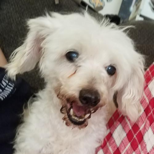 Miss Wiggles, an adoptable Poodle Mix in Olalla, WA