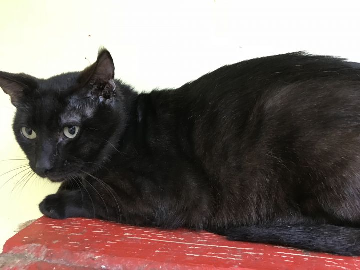 Saki, an adoptable Domestic Short Hair in Pompano Beach, FL
