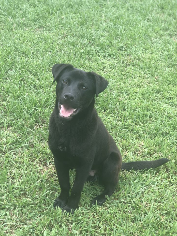 Blue, an adopted Black Labrador Retriever Mix in Franklin, KY