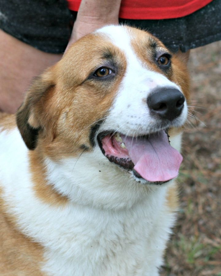 Abigail, an adopted Australian Shepherd Mix in Clayton, NC