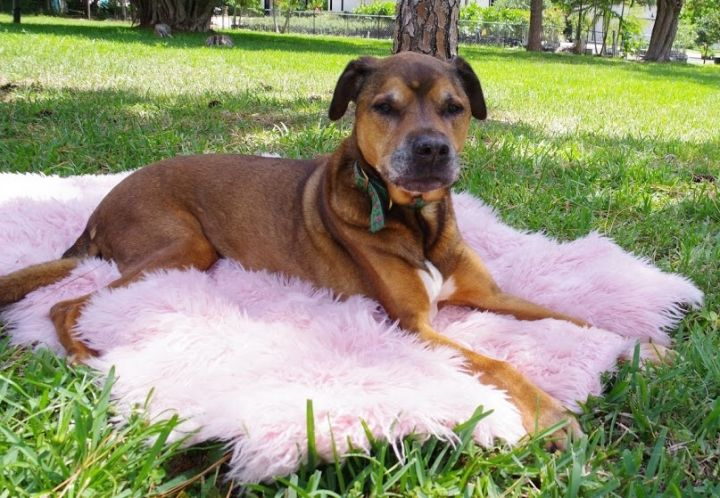 Rollie, an adoptable Rottweiler & Hound Mix in Boca Raton, FL