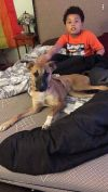 Pharaoh Hound Dog: Lucy