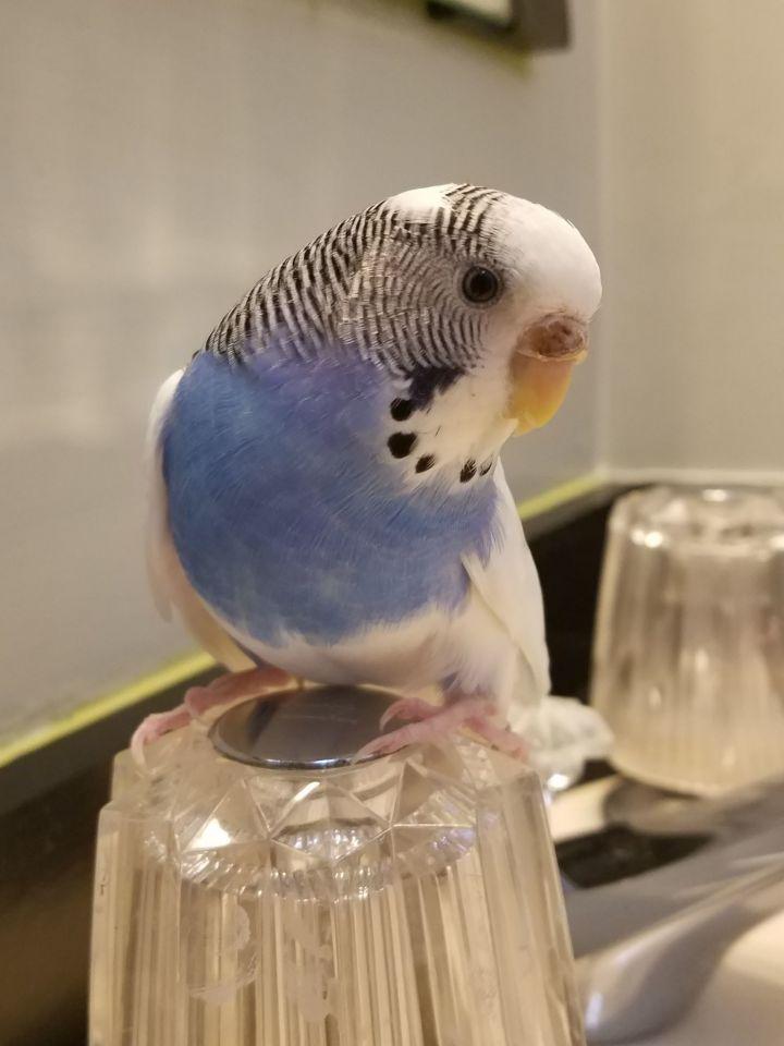 Parrot for adoption - Alex the Budgie, a Budgie / Budgerigar