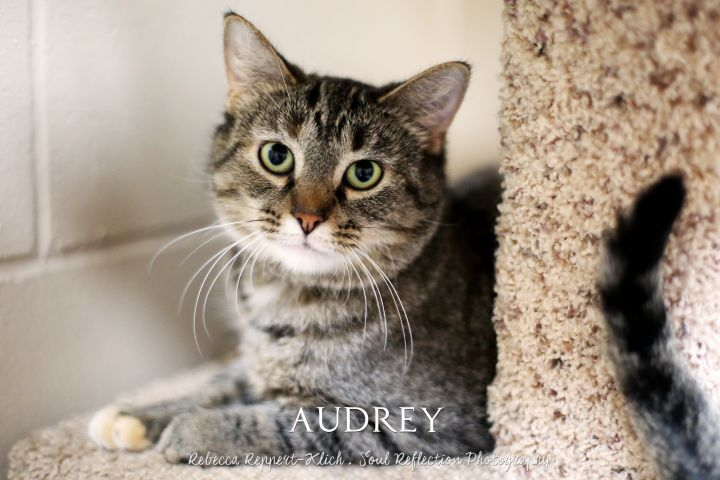 Audrey, an adopted Domestic Short Hair Mix in Appleton, WI