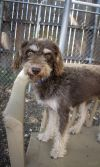 Poodle Dog: Hershey