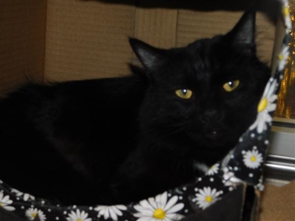 Cat For Adoption Hooty Near Pontiac MI