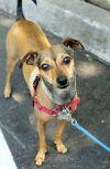 Italian Greyhound Dog: Cricket