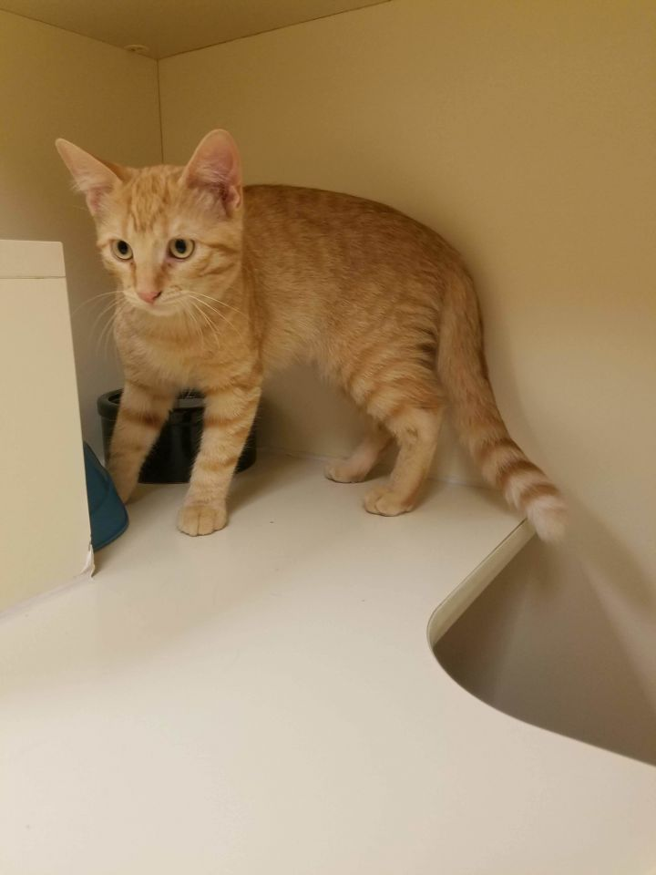 Murphy, an adopted Domestic Short Hair in Hays, KS