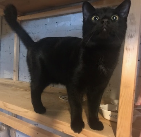 Firefox, an adoptable Domestic Short Hair in Waverly, IA