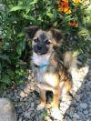 Tibetan Spaniel Dog: Toby