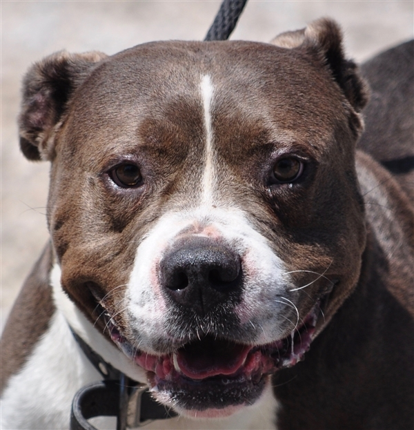 Dog for adoption - Gator, a Pit Bull Terrier in Osage Beach