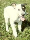 Australian Shepherd Dog: Robin