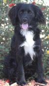 Brittany Spaniel Dog: Hero