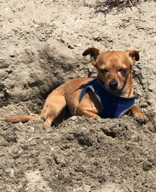 Dog for adoption - Pongo, a Chihuahua & Pug Mix in San Diego