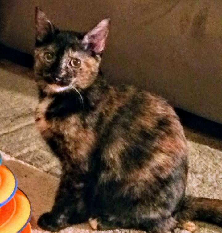 Zazu, an adopted Domestic Short Hair in Boiling Springs, PA
