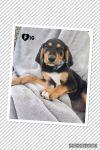 Basset Hound Dog: Fig (M-S)