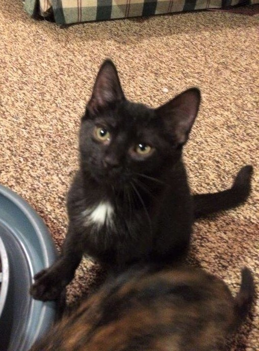 Pumbaa, an adoptable Domestic Short Hair in Boiling Springs, PA