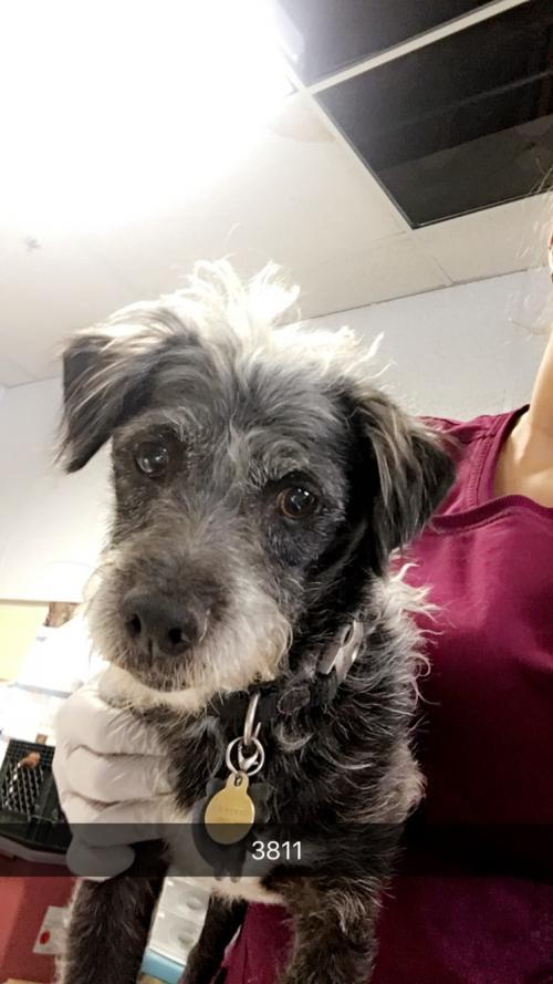 fella, an adopted Dachshund & Poodle Mix in Chico, CA