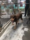 Airedale Terrier Dog: Latoya