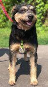 Schnauzer Dog: Captain- No Longer Accepting Applications