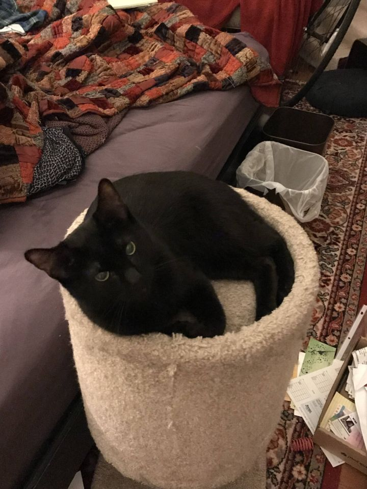 Roscoe, an adopted Domestic Short Hair in Cambridge, MA