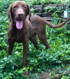 Wirehaired Pointing Griffon Dog: Magic of Oz