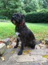 Wirehaired Pointing Griffon Dog: Matsu