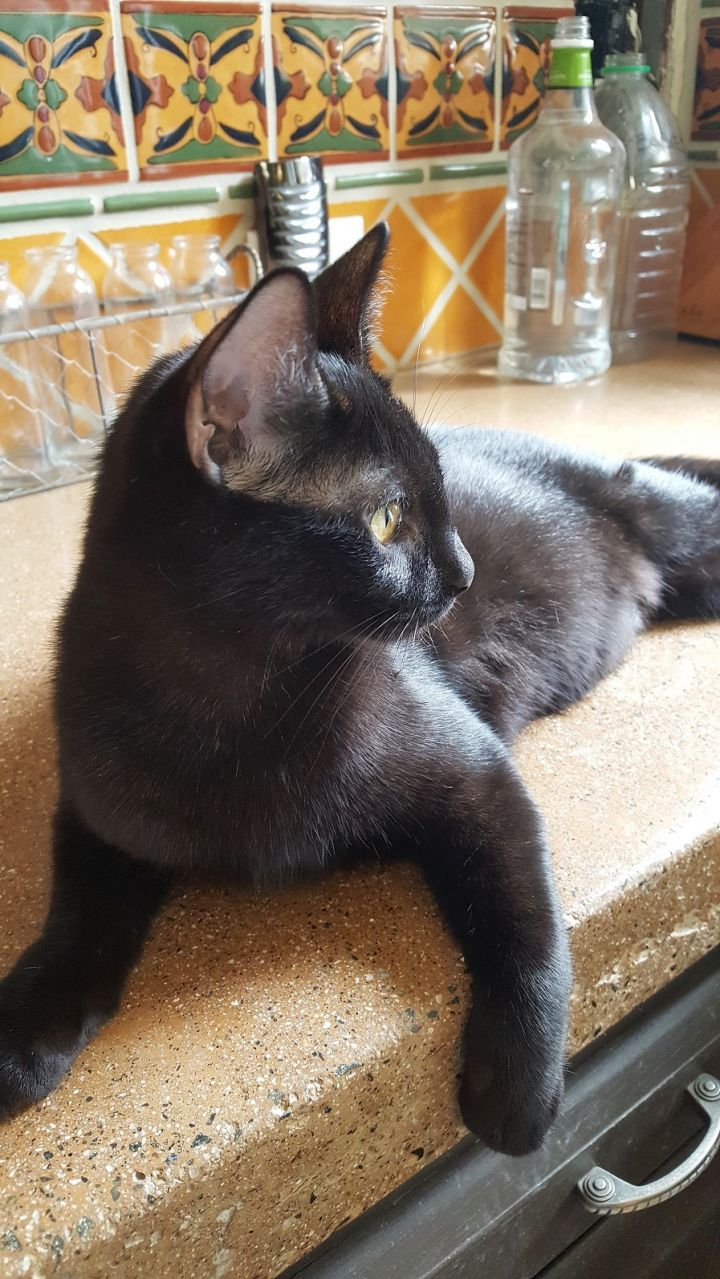 Jake, an adoptable Bombay & Domestic Short Hair Mix in Mission Viejo, CA