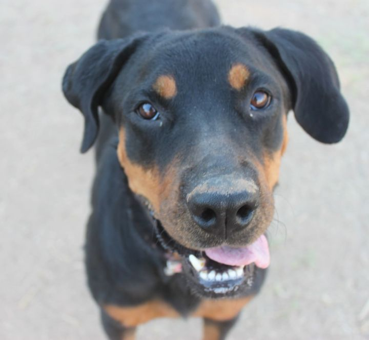 Princess, an adopted Rottweiler Mix in Glendale, AZ