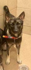 Norwegian Elkhound Dog: Rana