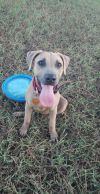 Black Mouth Cur Dog: Lucy