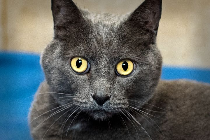 Gray (Steel), an adopted Domestic Short Hair in Harrisburg, PA