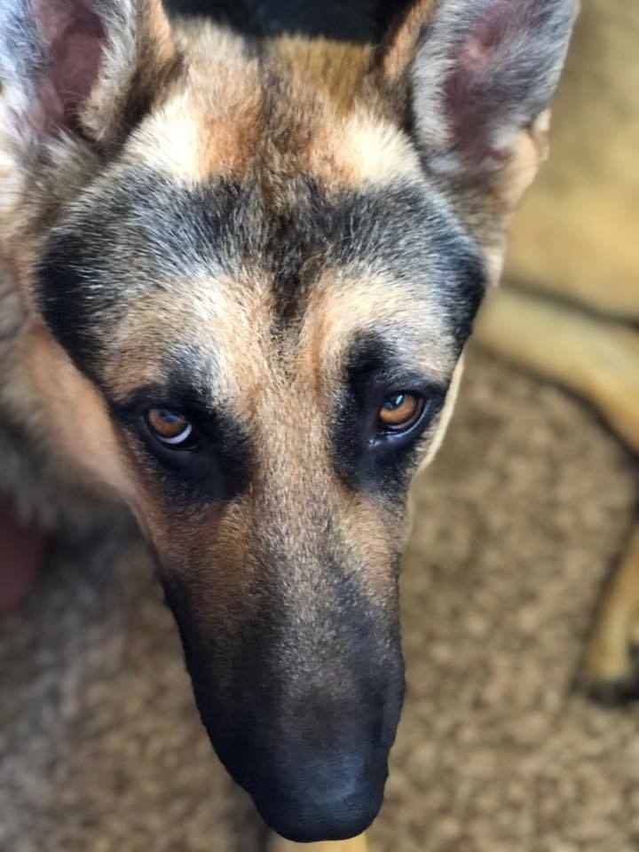 Groot, an adopted German Shepherd Dog in Kennewick, WA