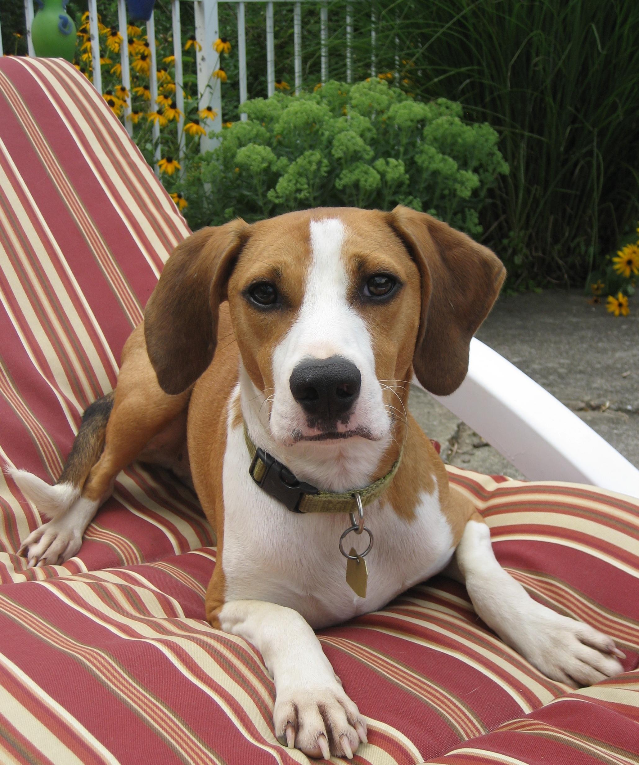 English Foxhound Beagle Mix