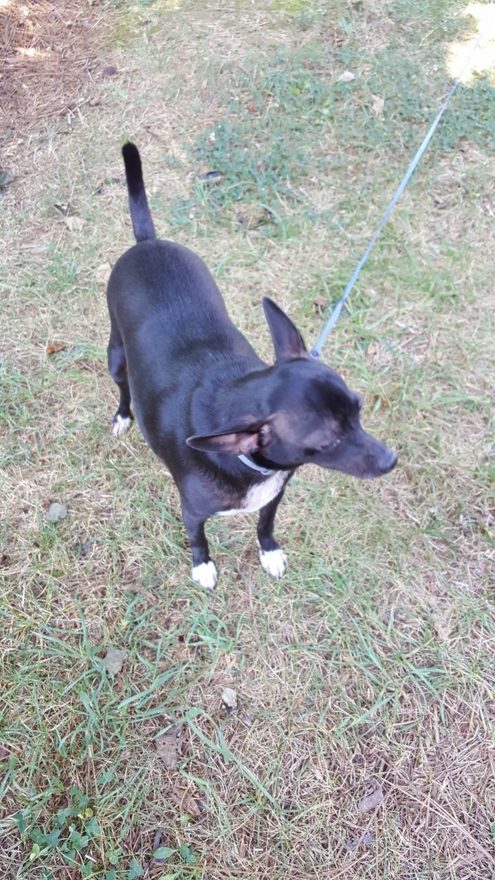 Dog For Adoption Rambo A Chihuahua Jack Russell Terrier Mix In