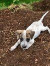 English Setter Dog: Abigail