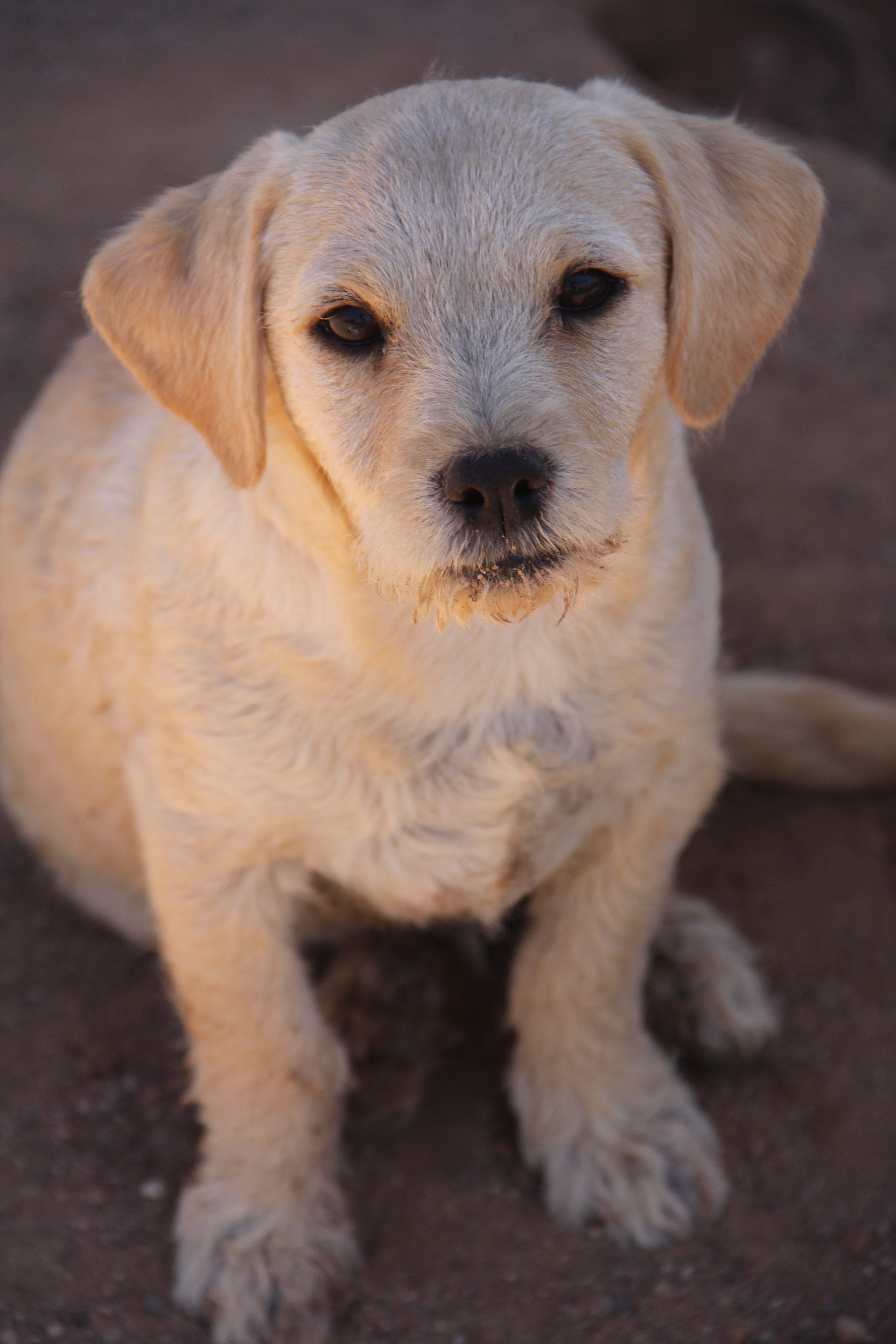 dog for adoption terrier mix puppies near new river az petfinder