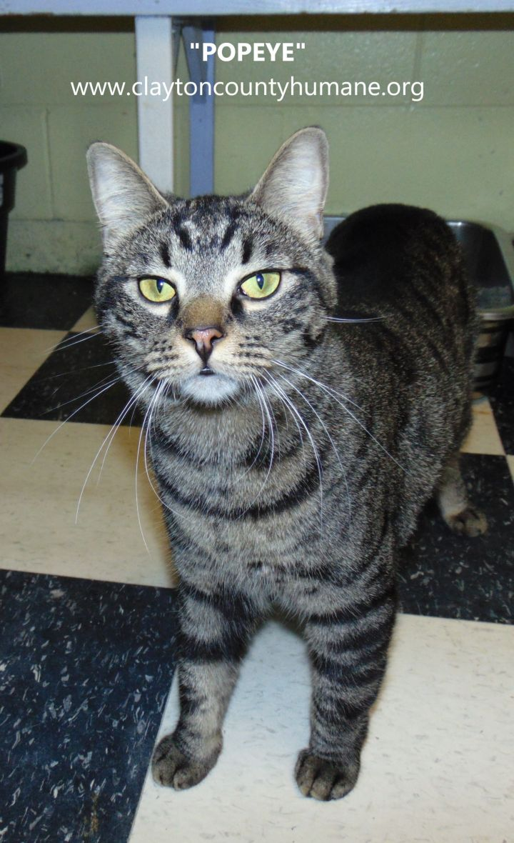 Popeye, an adopted Domestic Short Hair in Jonesboro, GA