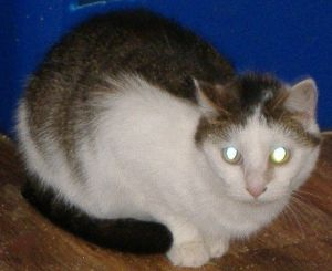 Cat For Adoption Keres A Domestic Short Hair Mix In Cookeville Tn Petfinder