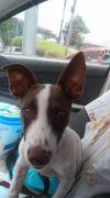 Basenji Dog: Vivacious Victor