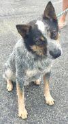 Australian Cattle Dog / Blue Heeler Dog: Billy Jack