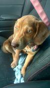 Beagle Dog: Bobby Beagle