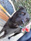 Labrador Retriever Dog: Bobby