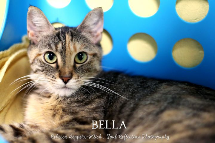 Bella, an adopted Domestic Medium Hair Mix in Appleton, WI