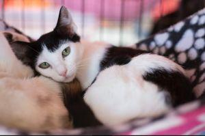 PORTIA Domestic Short Hair Cat