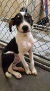 Treeing Walker Coonhound Dog: Vinnie