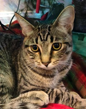 Brown Tabby KittenJasmine is an amazing 2 year old old brown tabby that has been with our rescue sin